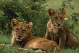 Lion Cubs Photographic Print by  DLILLC