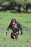 Chimpanzee Photographic Print by  DLILLC