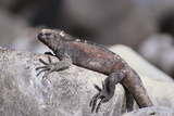 Marine Iguana Photographic Print by  DLILLC