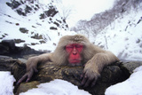 Japanese Macaque Relaxing in Hot Spring Photographic Print by  DLILLC