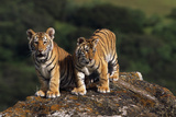 Tiger Cubs Looking out from a Rock Photographic Print by  DLILLC