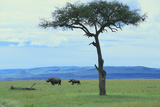 Black Rhinoceros on the Savanna Photographic Print by  DLILLC
