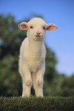 Whitefaced Lamb in the Pasture Photographic Print by  DLILLC