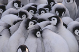 Baby Emperor Penguins Photographic Print by  DLILLC