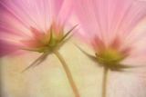 Cosmos Twins Photographic Print by Kathleen Clemons