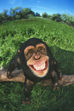 Smiling Chimpanzee Photographic Print by  DLILLC