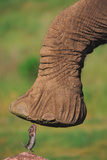 Mouse Examining Elephant's Foot Photographic Print by  DLILLC