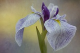 Close up of a Beautiful Purple Iris Photographic Print by Kathleen Clemons