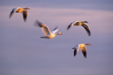 Snow Geese Flying at Sunset Photographic Print by  DLILLC