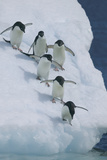 Adelie Penguins Photographic Print by  DLILLC