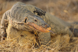 Monitor Lizard Photographic Print by  DLILLC
