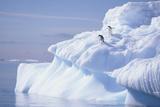 Adelie Penguins on Iceburg Photographic Print by  DLILLC
