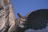 Great Horned Owl with Wings Spread Photographic Print by  DLILLC