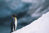 King Penguin on Snow Photographic Print by  DLILLC