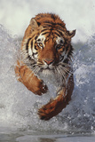 Tiger Running through Water Reproduction photographique par  DLILLC