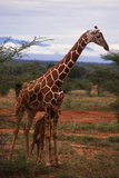 Mother Giraffe Protecting Calf from Lion Attack Photographic Print by  DLILLC