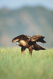 Golden Eagle in Meadow Photographic Print by  DLILLC