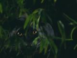 Panthère noire Reproduction photographique par  DLILLC