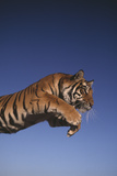 Tiger Leaping Photographic Print by  DLILLC