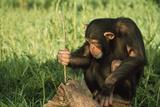 Chimpanzee Using Twig to Capture Termites Photographic Print by  DLILLC