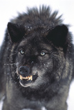 Gray Wolf Baring its Fangs Photographic Print by  DLILLC