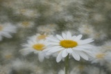 Dancing Daisies Photographic Print by Kathleen Clemons