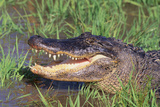 Alligator Photographic Print by  DLILLC