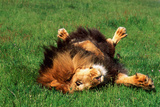Male Lion Rolling in Grass Photographic Print by  DLILLC