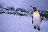 King Penguin at Colony on South Georgia Island Photographic Print by  DLILLC