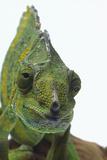 Meller'schameleon Photographic Print by  DLILLC