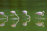 Flamingoes in Water Photographic Print by  DLILLC