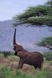 Elephant Reaching for Food Photographic Print by  DLILLC