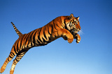 Tiger Leaping through Air Photographic Print by  DLILLC