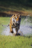Charging Bengal Tiger Photographic Print by  DLILLC