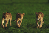 Three Young Lion Cubs Photographic Print by  DLILLC