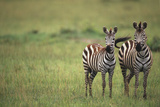 Zebras Photographic Print by  DLILLC