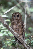 Northern Spotted Owl Photographic Print by  DLILLC