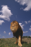 Male Lion Photographic Print by  DLILLC