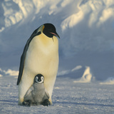 Emperor Penguin with Chick on Feet Photographic Print by  DLILLC