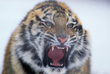 Growling Bengal Tiger Photographic Print by  DLILLC