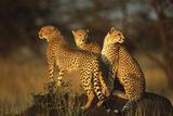 Three Cheetahs on Termite Mound Fotografisk tryk af  DLILLC