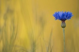 Blue Cornflower on Yellow Photographic Print by Kathleen Clemons