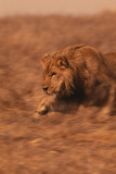 Young Lion Running Photographic Print by  DLILLC