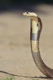 Cobra Fotografisk tryk af  DLILLC