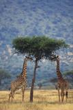 Giraffes Eating Acacia Photographic Print by  DLILLC