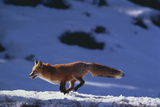 Red Fox Running in Snow Photographic Print by  DLILLC