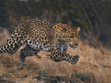 Leopard Hunting Photographic Print by  DLILLC