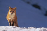 Red Fox in Snow Photographic Print by  DLILLC