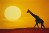 Giraffe at Sunset Photographic Print by  DLILLC