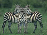 Symmetrical Zebras Photographic Print by  DLILLC